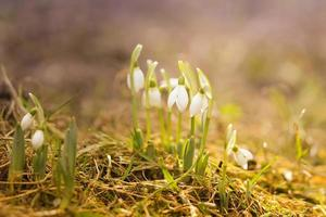 campanillas blancas en las gotas de lluvia de primavera