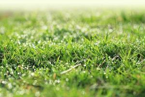 Dew on green grass under the morning sunlight.