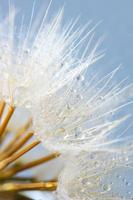 Close-up of dandelion with drops photo