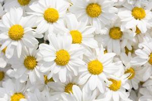 White chrysanthemum flower photo