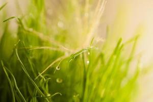 bright close-up leaves of grass with dew