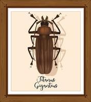 Titanus giganteus sobre bastidor de madera
