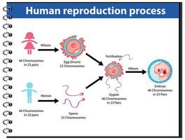 Reproduction Process of Human infographic vector