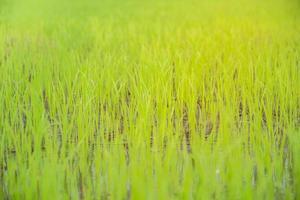 primer plano de un arroz presentado