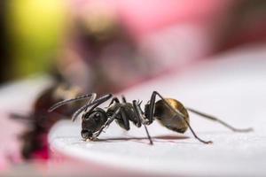 primer plano de la hormiga negra