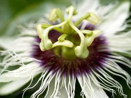Close-up of a passion fruit flower
