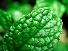 hojas de menta fresca, primer plano