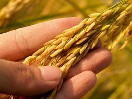 Hand holding mature golden rice