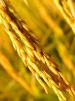 Mature golden rice close-up