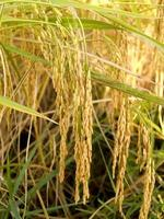 Mature harvested golden rice