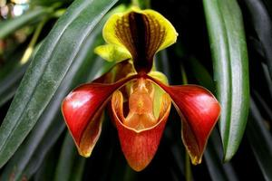 A Lady Slipper orchid found in Thailand