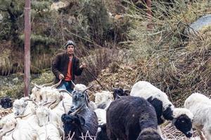Uttarakhand, India, 2020 - Shepherd herding goats