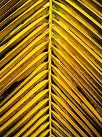 hojas de coco natural brillante foto