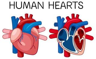 cartel de información del corazón humano vector