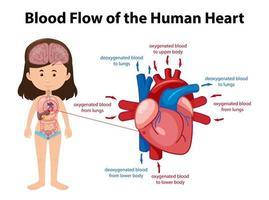 Blood flow of human heart diagram
