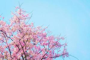 Pink cherry blossom tree on blue background