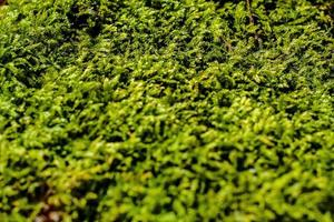 Selective focus of green moss