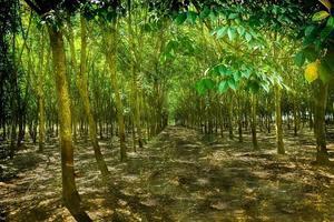 granja de árboles de caucho