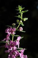 hermosas flores de color púrpura sobre fondo negro foto