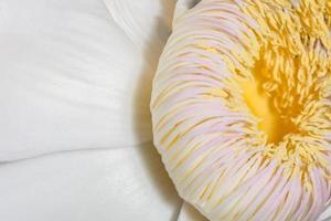 gustavia gracillima miers flor