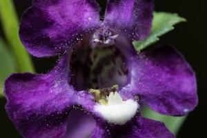 hermosa flor morada sobre fondo negro foto