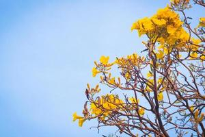 Yellow flowers blossoming in spring photo