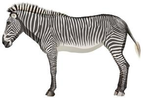 Adult zebra in standing position on white background