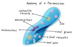 anatomía de un paramecio