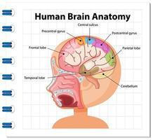 cartel de información del diagrama del cerebro humano