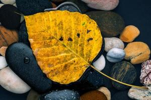 las hojas amarillas de bodhi cayendo sobre el río piedra zen, pacífica, foto