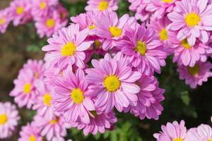 Beautiful pink chrysanthemum flower background photo