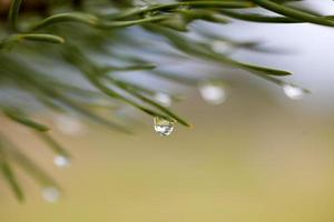 Raindrops on the fir branch