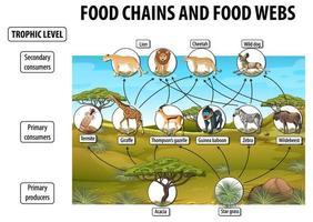 cartel educativo de biología para redes alimentarias y diagrama de cadenas alimentarias vector