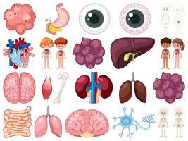 Conjunto de órganos internos humanos aislado sobre fondo blanco.