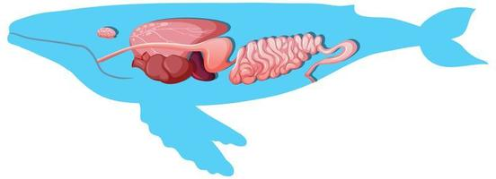 Anatomía interna de una ballena aislado sobre fondo blanco.