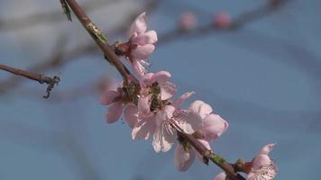 abelha em uma flor video