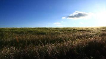 champ de blé avec une séquence vidéo de ciel bleu