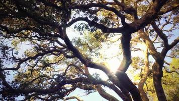 arbre géant 4k fond vivant