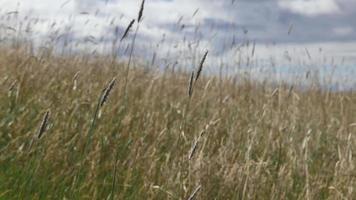 grãos, grama e ervas daninhas ao vento em um campo 4k uhd