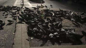 NYC Pigeons Going Wild video