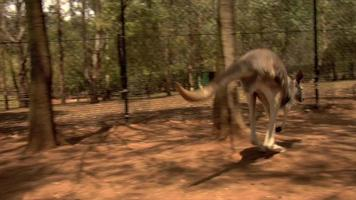 salto de canguru