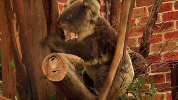 Koala bears climbing in tree