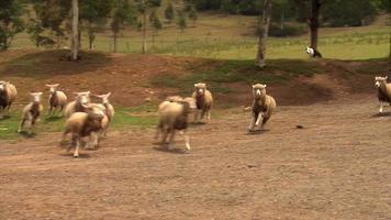 cão pastor cria ovelhas na austrália