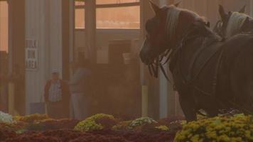 cavalos em uma manhã de nevoeiro video