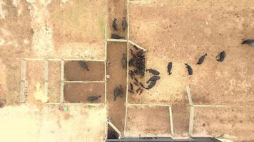 Aerial view of a cattle auction video