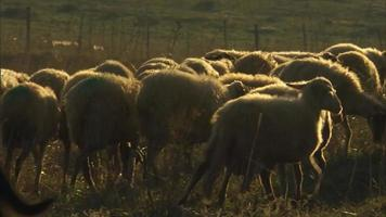 A sheep in a herd and a shepherd video