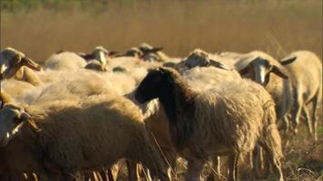Sheep being herded by a shepherd