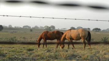 cavalos comendo video
