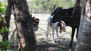 vaca y terneros. video