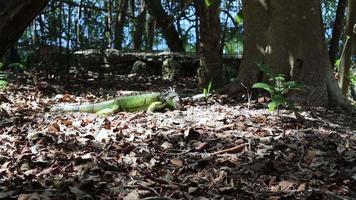 iguana verde comiendo hojas video